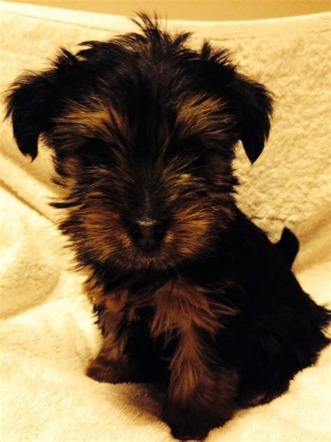 borkie puppies beautiful borkie puppy northwich cheshire pets4homes