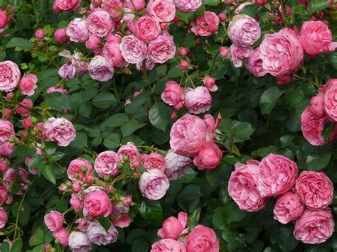 useful rose gardening tips that will help you in growing