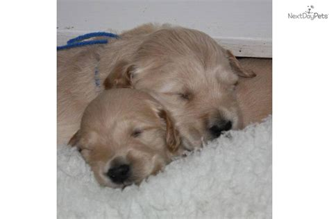goldendoodle puppy wv goldendoodle puppy for sale near morgantown west virginia