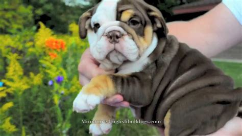 brown bulldog puppies chocolate tri bulldog puppy