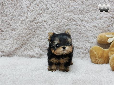 teacup yorkies for adoption in louisiana chaming teacup yorkie puppies for adoption text animals new orleans