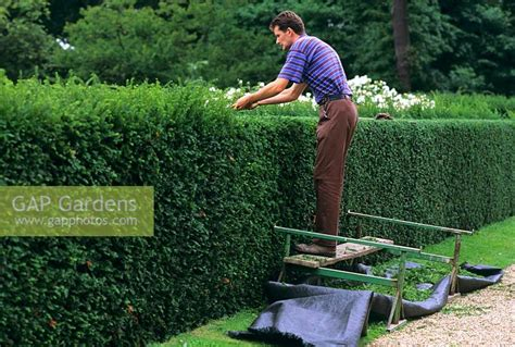 gap gardens cutting yew hedge taxus baccata in august image no 0030827 photo by s o