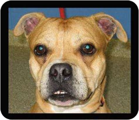 pit pug toro adopted 12920234 munster in pug american pit bull terrier mix