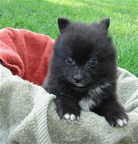teacup pomeranian oregon teacup pomeranian puppies for adoption looking for a new home