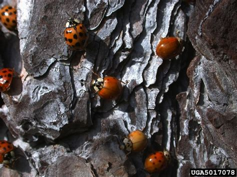 how to find ladybugs in your backyard nature in your backyard invasion of the ladybugs your wild life