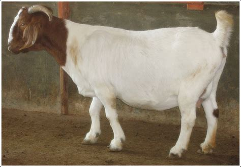 kumpulan gambar kambing boer jantan  betina
