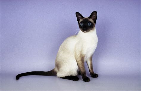 cat in siamese cat history personality appearance health and