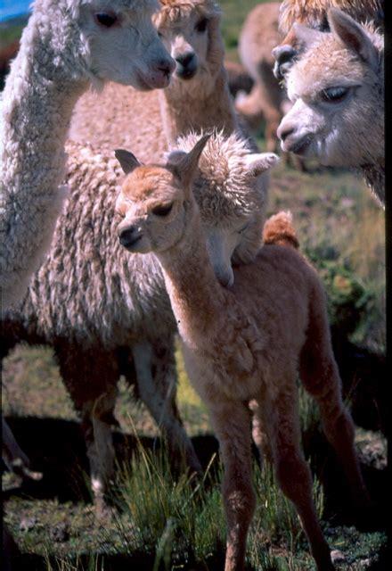 vicugna pacos alpaca  pacos