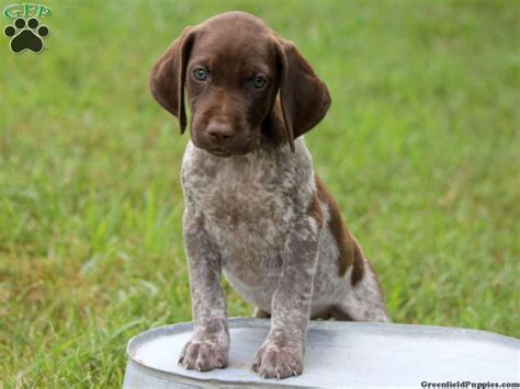 german shorthaired pointer puppies for sale near me chelsie german shorthaired pointer puppy for sale from harrisburg pa dogs