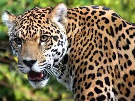 the roar of the jaguar jaguar screaming growling jaguar