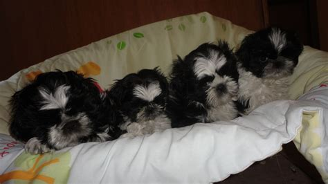 shih tzu puppies for sale birmingham adorable shih tzu puppies for sale birmingham west midlands pets4homes