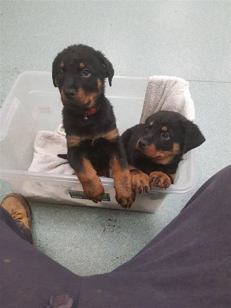 rottweiler puppies for sale in san antonio tx rottweiler puppies for sale san antonio tx 264067