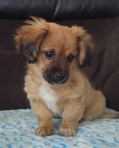 haired dachshund pomeranian mix dameranian breed information and pictures