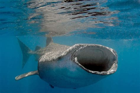 dive with whale sharks 5 best destinations for diving with whale sharks scuba
