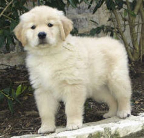Golden Retriever Puppies For Sale In Photo