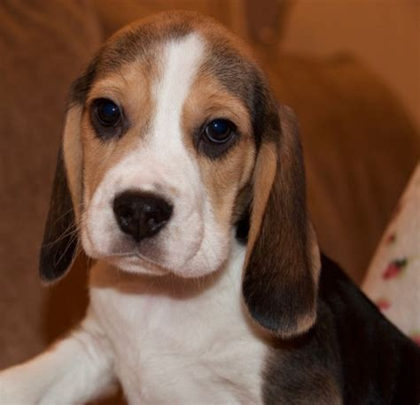 beagle puppies for sale in colorado beagle puppies for sale tamworth staffordshire pets4homes