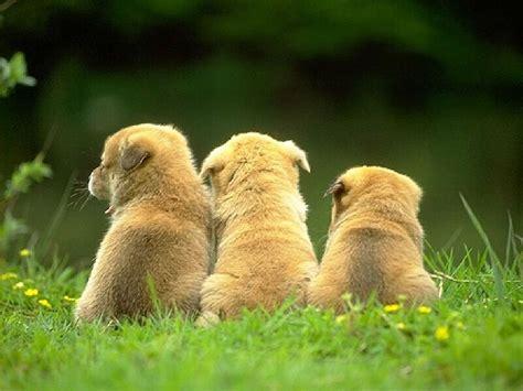lil puppies three puppies puppies wallpaper 13814765 fanpop