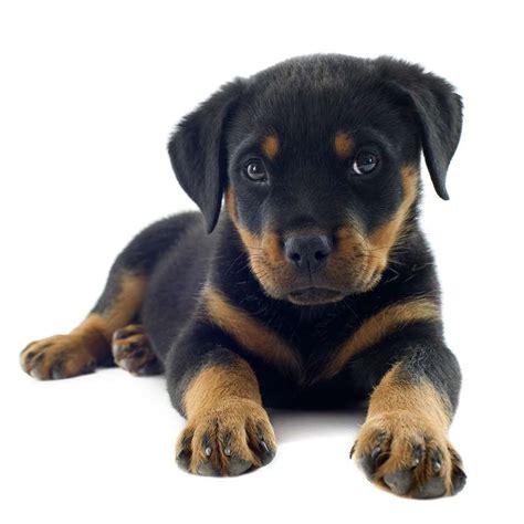 alimentazione cucciolo rottweiler rottweiler da difesa ma anche cucciolo da compagnia