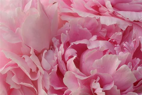pink peonies blog peony love two garden creativity for the soul