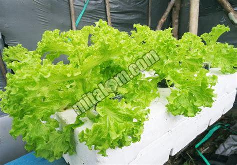 langkah mudah  menanam selada hidroponik sistem