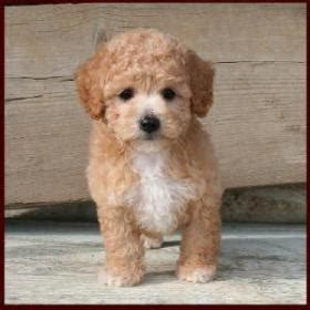 poochon puppies for sale poo poochon bichon poodle puppies for sale iowa