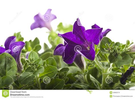 fiore colore viola fiore di colore viola fotografia stock immagine di pianta