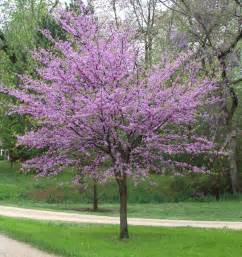 favorite plant friday redbud barefoot gardener nw