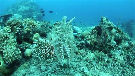 cuttlefish change colors using chromatophores in the