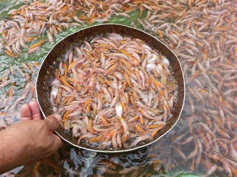 Benih Ikan Nila Harga jual benih ikan nila merah harga murah sukabumi oleh pt
