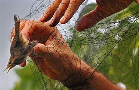 riproduzione cardellini di cattura in gabbia trappole e reti per catturare uccelli protetti denunciato