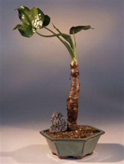 Alocasia Cucullata Buddha S First Lily Chinese Taro Plant Indoor | chinese taro bonsai tree alocasia cucullata