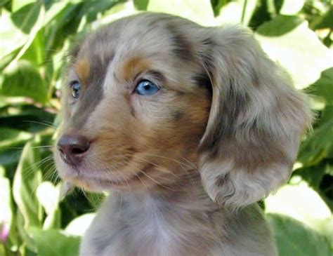 hair daschund puppies best 25 miniature dachshunds ideas on daschund miniature mini weiner
