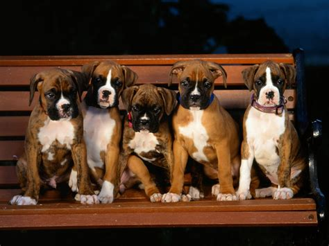 boxer puppie boxer puppies puppies wallpaper 9460911 fanpop