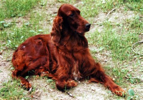 red setter gun dog favorites my canine obsession on pinterest irish setter