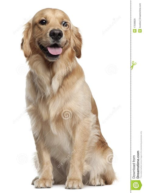 16 year golden retriever golden retriever 1 and a half years stock image image 17038829