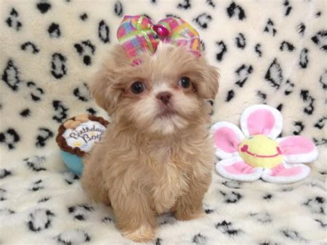 adopt shih tzu nashville dogs tennessee free classified ads