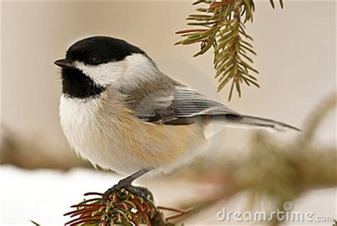 chickadee in snow royalty free stock images image 12870489