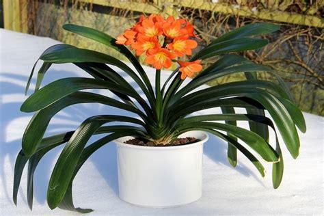 piante da appartamento con fiore piante appartamento piante appartamento