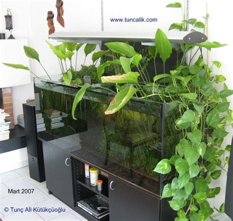 Climbing Fig Plant - indoor plants for water purification and nitrate reduction in aquariums 171 tuncalik com natural