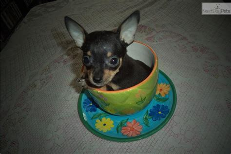 chihuahua puppies for sale in alabama chihuahua puppy for sale near birmingham alabama 6f8f2ecc a8d1