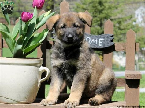 greenfield puppies german shepherd pin by greenfield puppies on puppies for sale