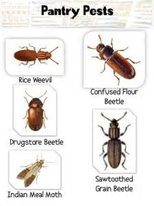 identification and prevention of pantry pest avoid pantry