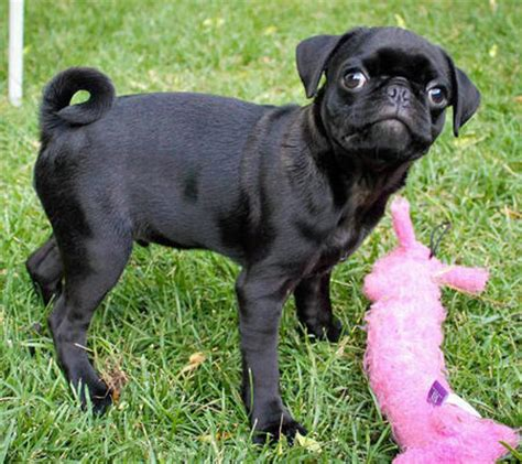 grown pugs grown teacup beagle breeds picture