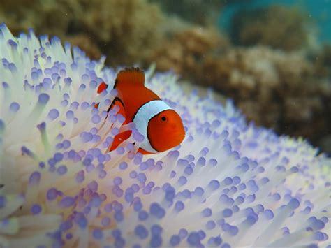 anemone finding nemo saving nemo bleaching threatens clownfish