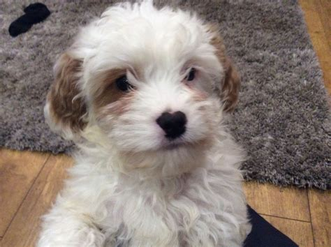 cavapoo rescue puppies for sale cavapoo puppy kidwelly carmarthenshire pets4homes