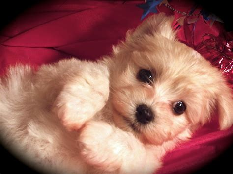 havanese puppies for sale in ohio image gallery havanese puppies adoption