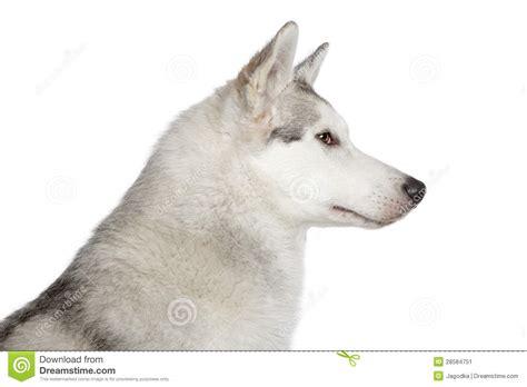 puppy profile husky profile portrait stock image image 28584751