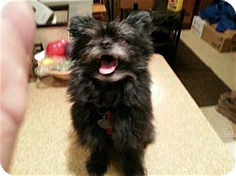 pomeranian cairn terrier mix chewy adopted edmonton ab cairn terrier pomeranian mix