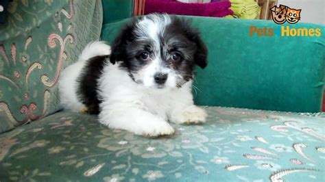 havanese maltese puppies beautiful havanese x maltese puppy spalding lincolnshire pets4homes