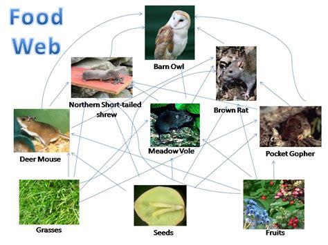 barn owl food web diagram mfinan s